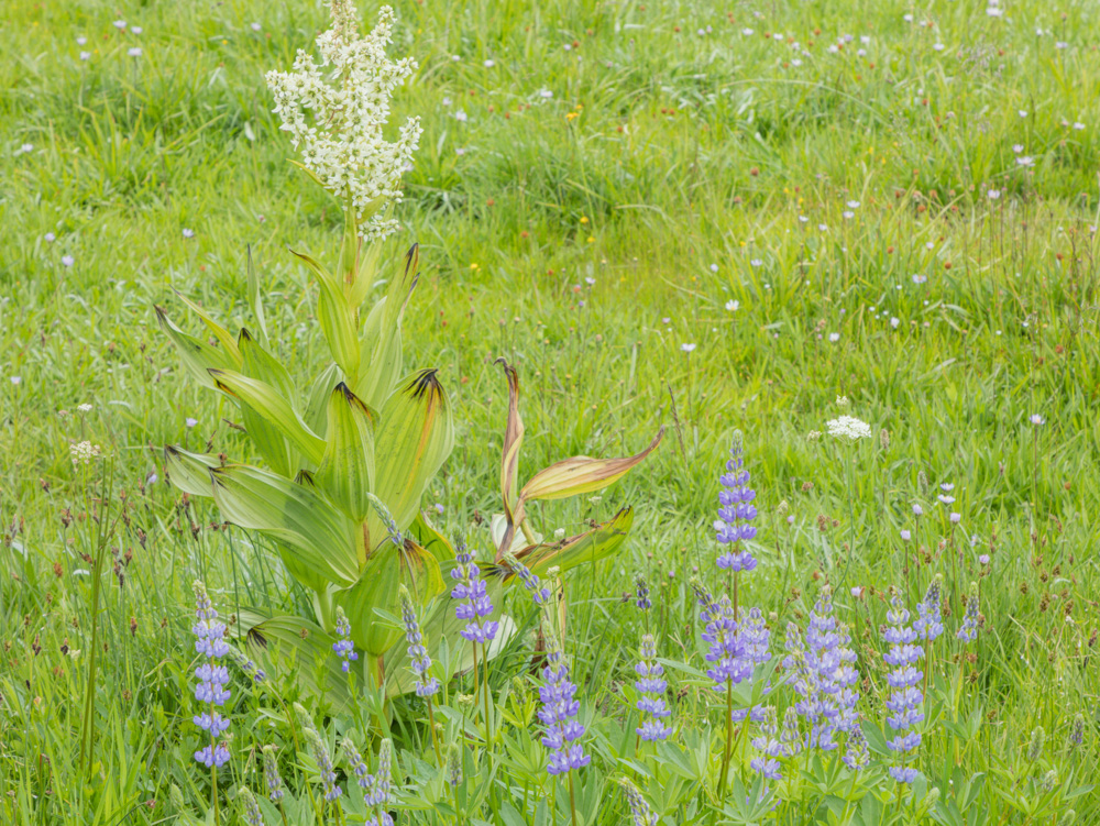 Corn Lilly ( Veratrum ) and Lupines at Upper Meadow. Lassen National Volcanic Park. CA.2017. Canon 5DSr.