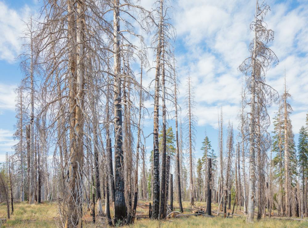 Burned Forest. Lassen National Volcanic Park. CA. 2017. Canon 5DSr.