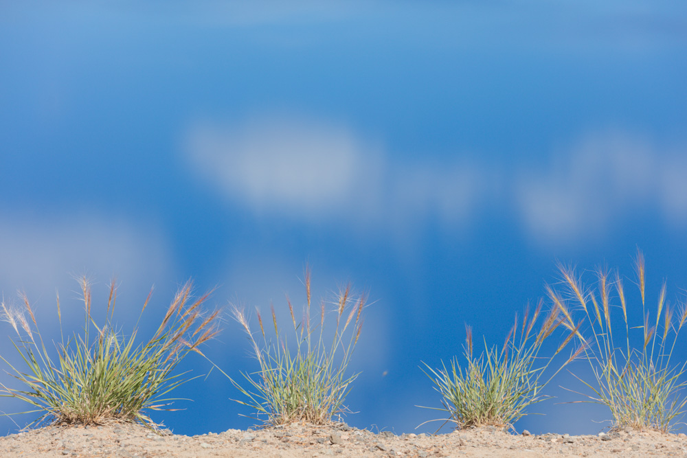 Pampas Grass (an invasive)and Lake. Crater Lake. 2017. Canon 5DSr.