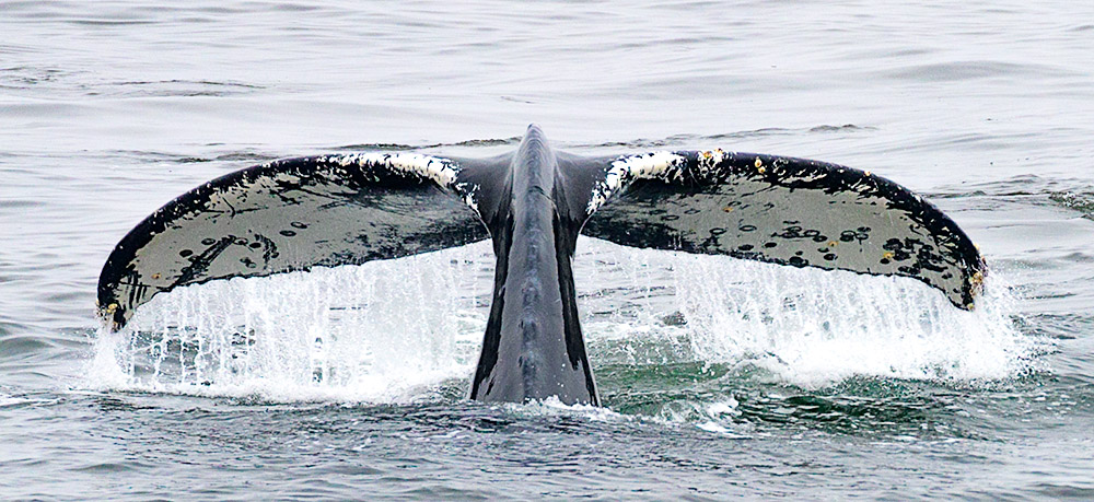 Humpback Whale Tail. Monterey Bay, CA. 2017. Canon 1Dx II.