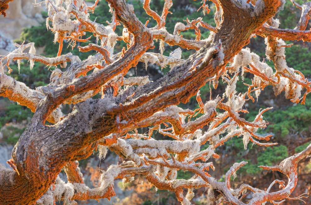 Trentepohlia and Moss on Trees. Point Lobos. 2017. Canon 5DSr.