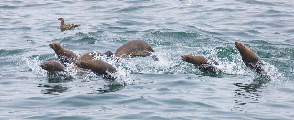 Porpoising Seal Lions. Monterey Bay. 2017. Canon 1Dx Mark II.
