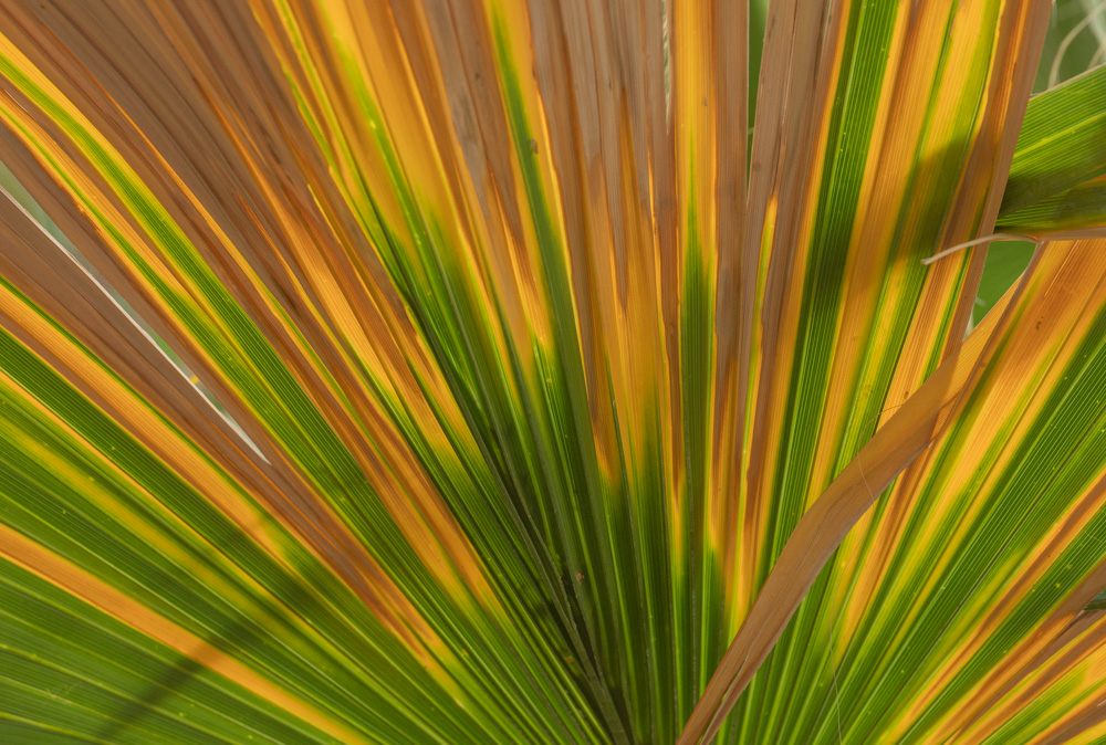 Sunlight through Palm. Coachella Preserve. 2018. Canon EOS 5DSr.