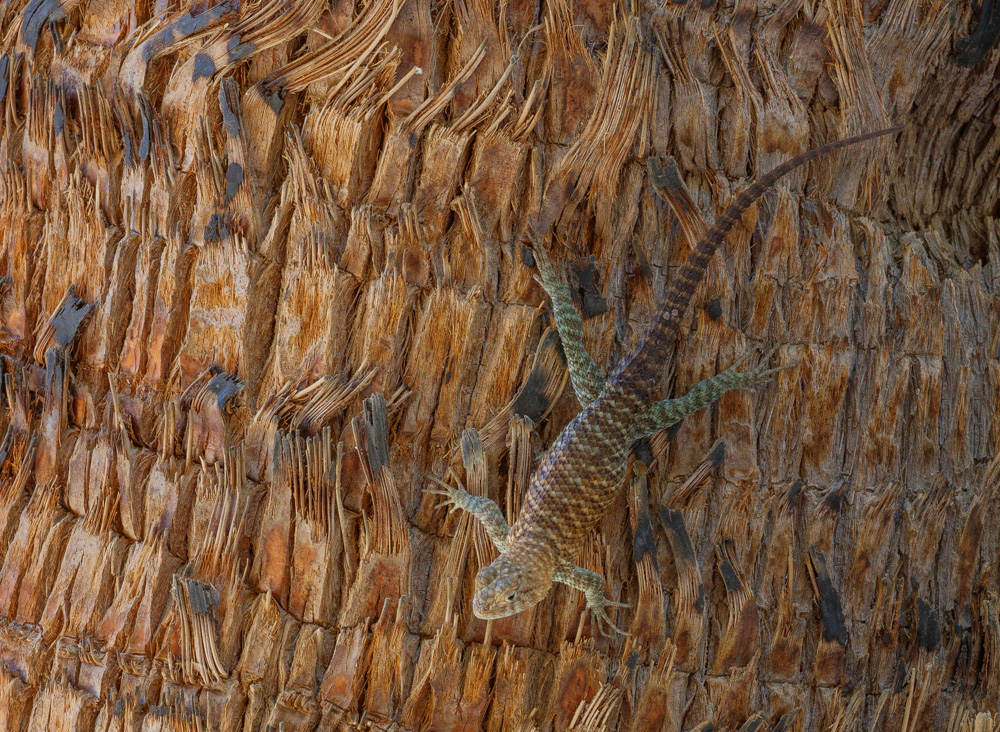 Granite spiny lizard on palm. Andreas Canyon. Palm Springs, CA. 2018. Canon EOS 5DSr.