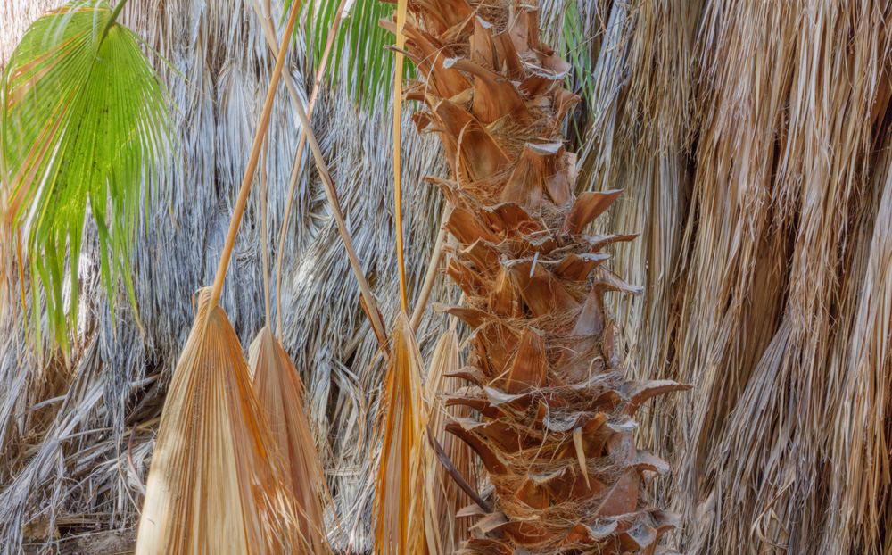 Palms. Coachella Preserve. Thousand Palms, CA. 2018. Canon EOS 5DSr.