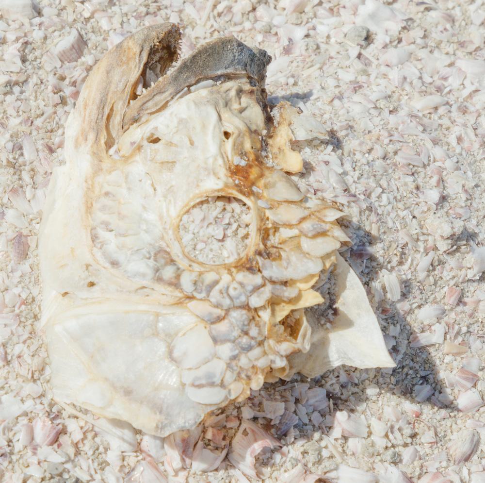 Fish Skeleton. Salton Sea. 2018