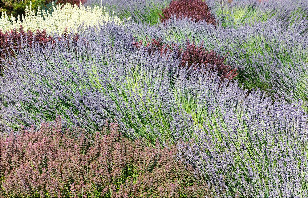 Heathers.  Filoli Gardens . Woodside, CA. 2018. Canon EOS 5DSr.