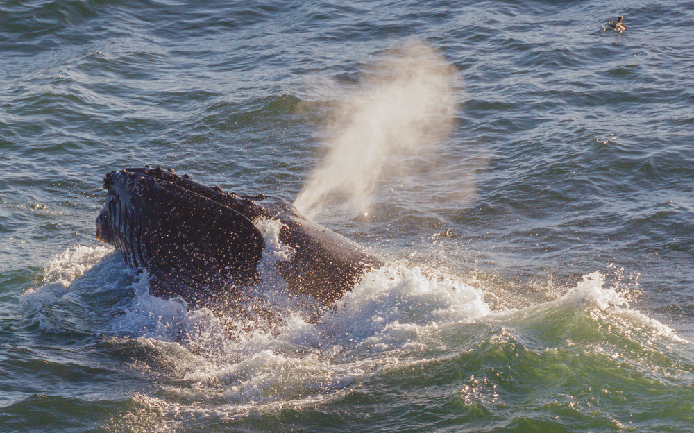 Lunging Humpback Whale. Pacifica, CA.2018. Canon EOS 5DSr.