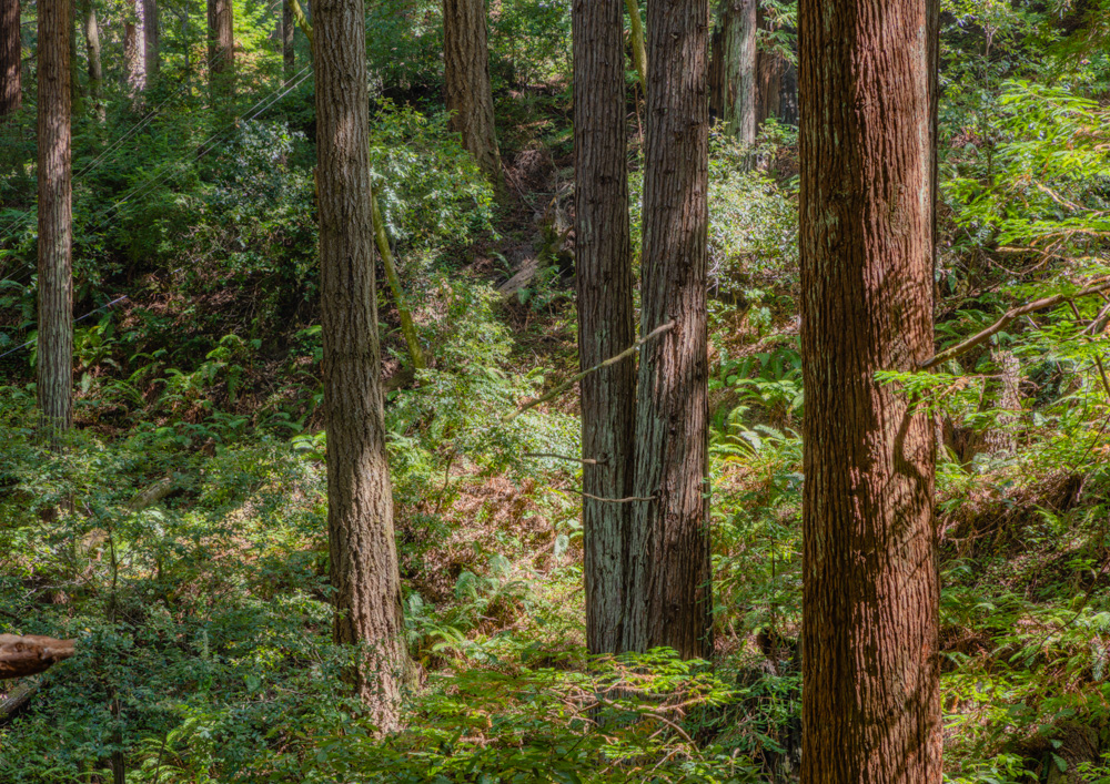 Redwood Forest. Butano State Park.. 2018. Canon EOS 5DSr.