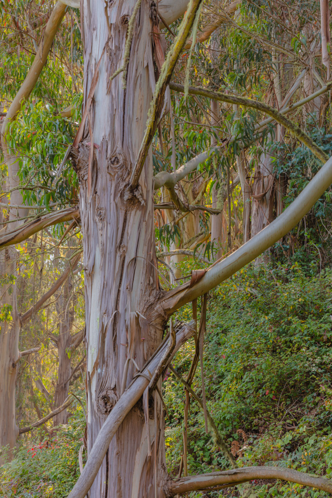 Eucalyptus Forest. Murray Ranch Park. Half Moon Bay. 2018. Canon EOS 5DSr.