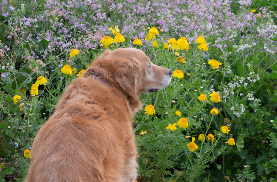 Sandy on one of our walks on the cliffs and flower fields along the Pacific Ocean.