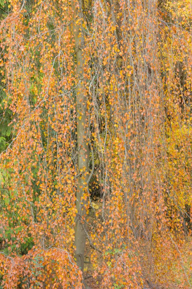 Cascade of Drying Leaves. Washington Park Arboretum. Seattle, WA. 2017. Canon 5DSr.