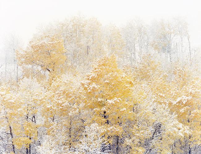 snowy-aspens.jpg