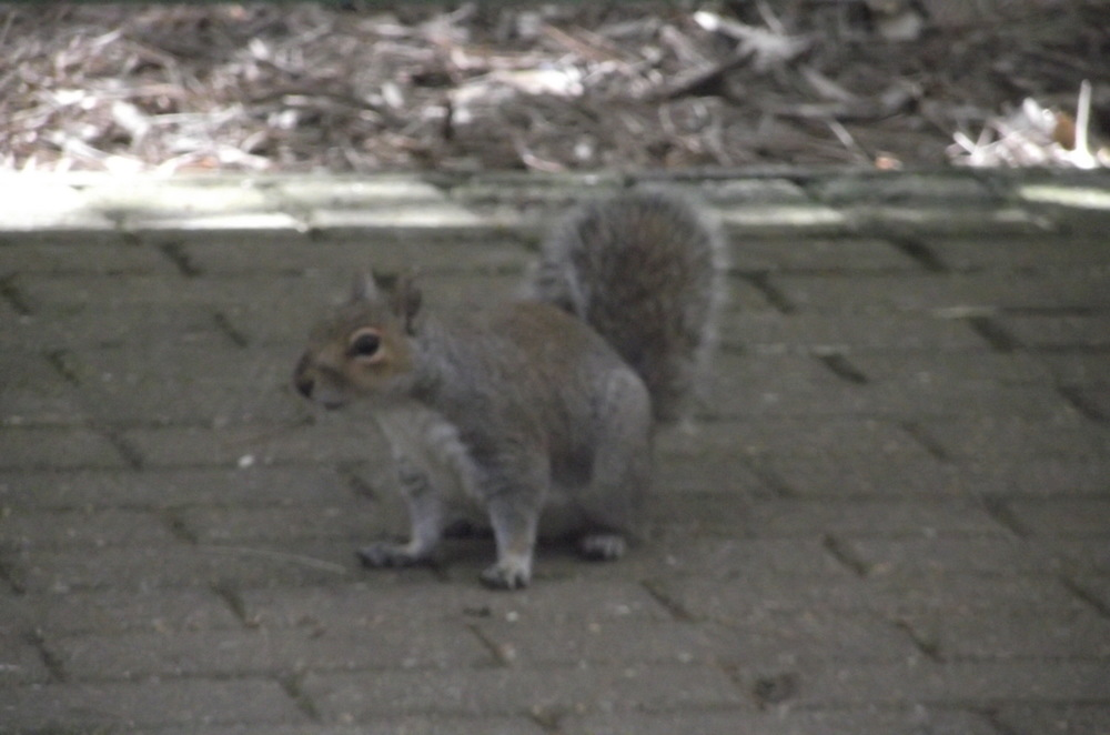 Squirrel at the Pine WALK