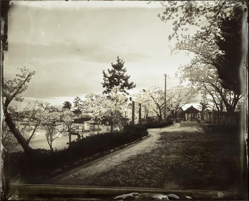 Cherry Blossom / 桜 - 天王川公園