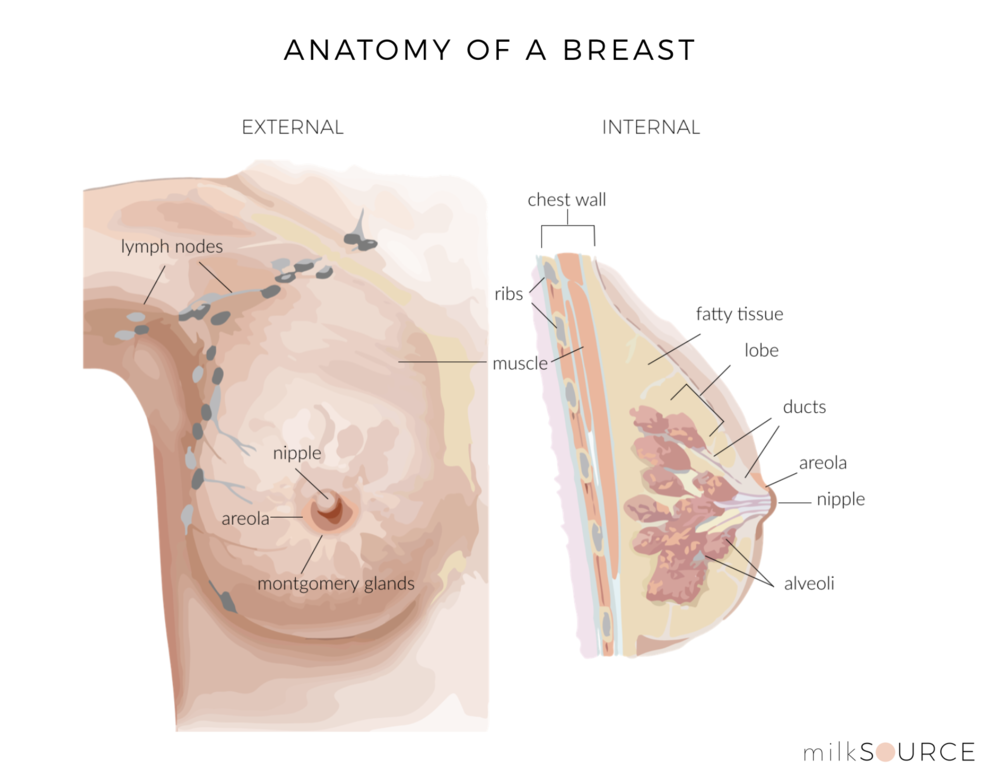 Anatomy of a Breast_milksource.png