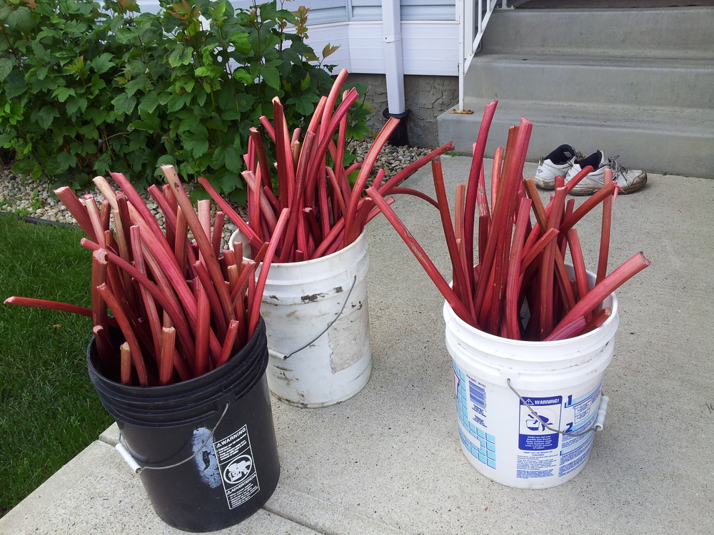 welcoming pails of rhubarb