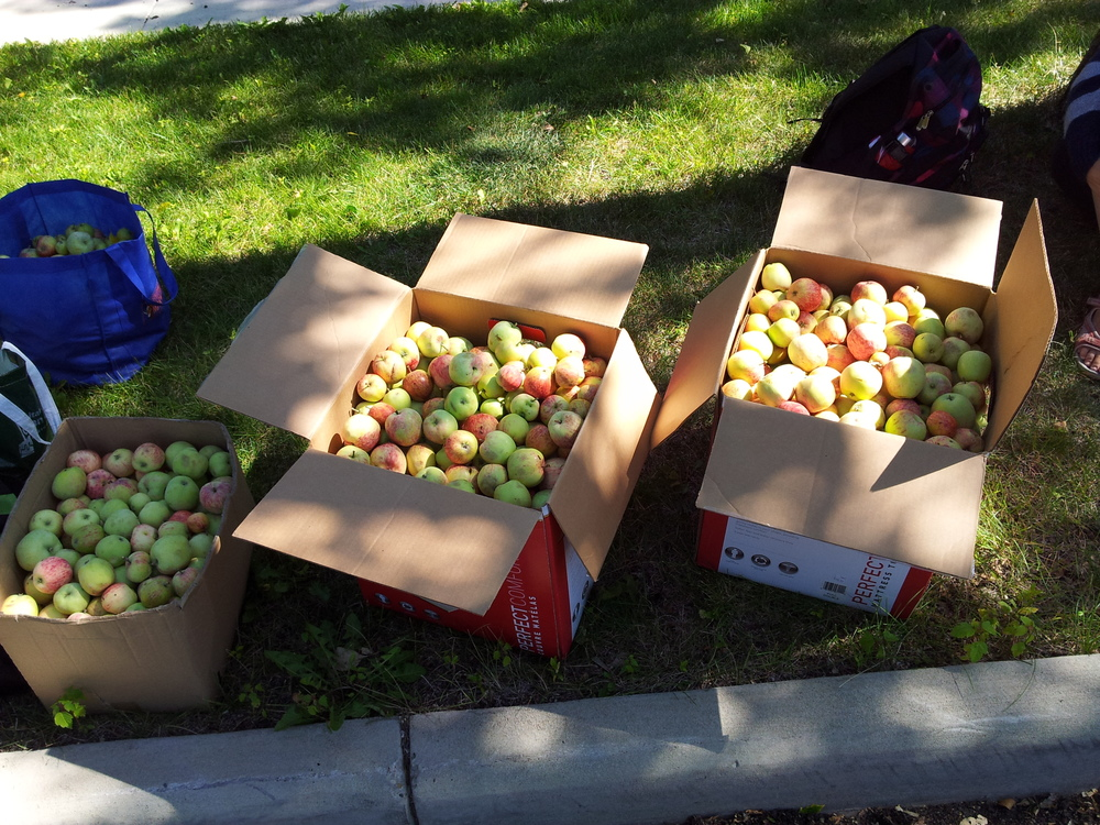 Local apples picked and ready to go to our kitchen.