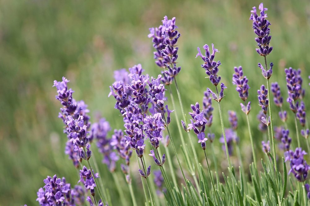 lavender-for-skin.jpg