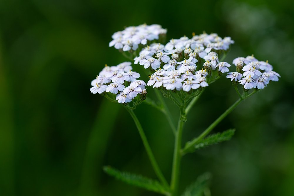 yarrow-for-skin.jpg