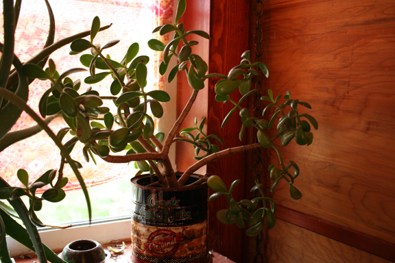 Recent photo of the jade plant I gave my aunt back in 2010