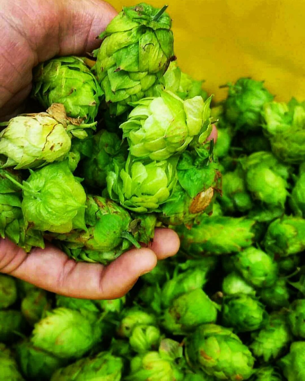 Hops grown at the Norfolk Botanical Garden. Photo courtesy of Alexandra Cantwell