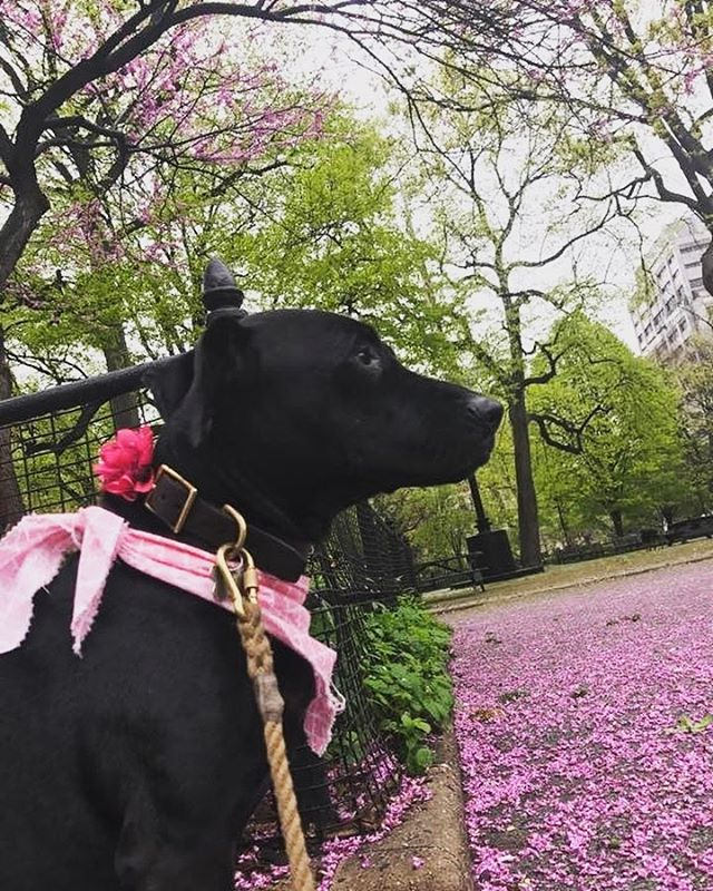Spring has sprung! Nola took a minute to bask in the color coordinated beauty of the park.  #thefurkidco #dogwalking #spring #dogstagram #dogsofinsta #pupsofnyc #colors