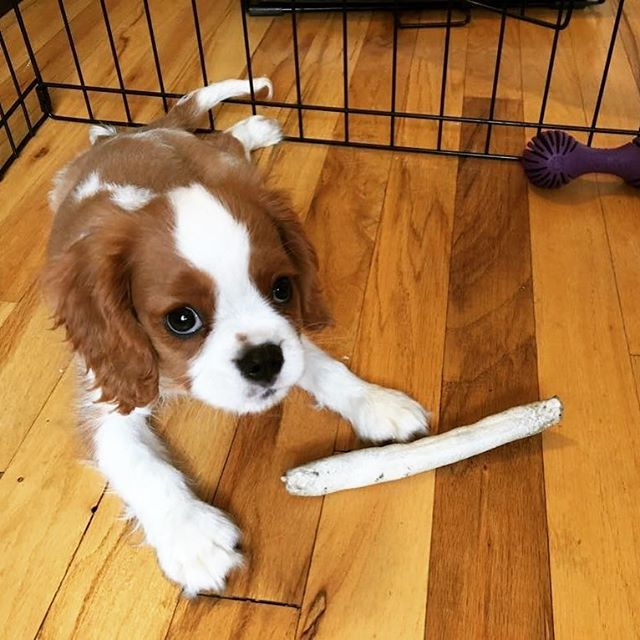 We are so excited to help you get the hang of things Riggins, you adorable little nugget!  #thefurkidco #dogwalking #puppy #kingcharlescavalier #pupsofinstagram #nycpups #adorablenugget