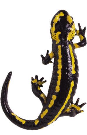 salamander-clip-art-salamander-clip-art-9.jpg