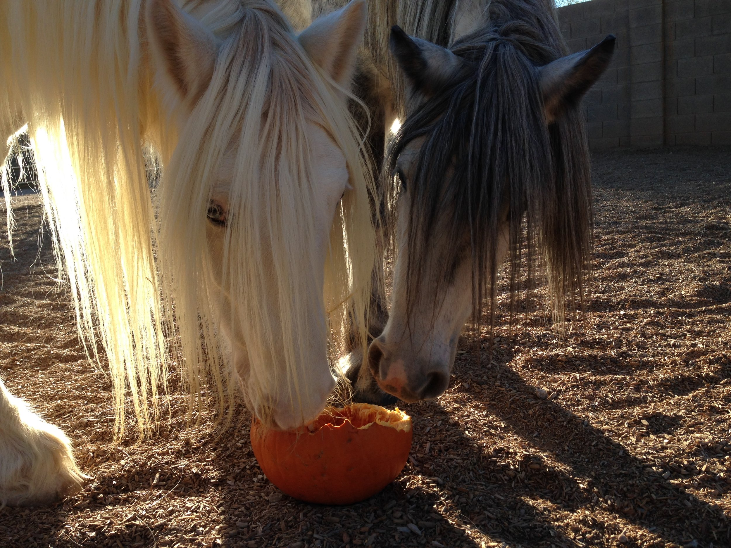 horses eating pumpkin