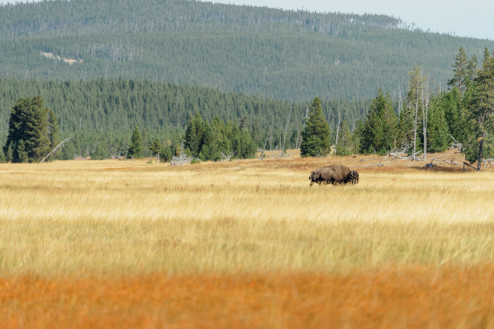 First bison spotted! We got very excited. Little that we know we'd be seeing them everywhere.
