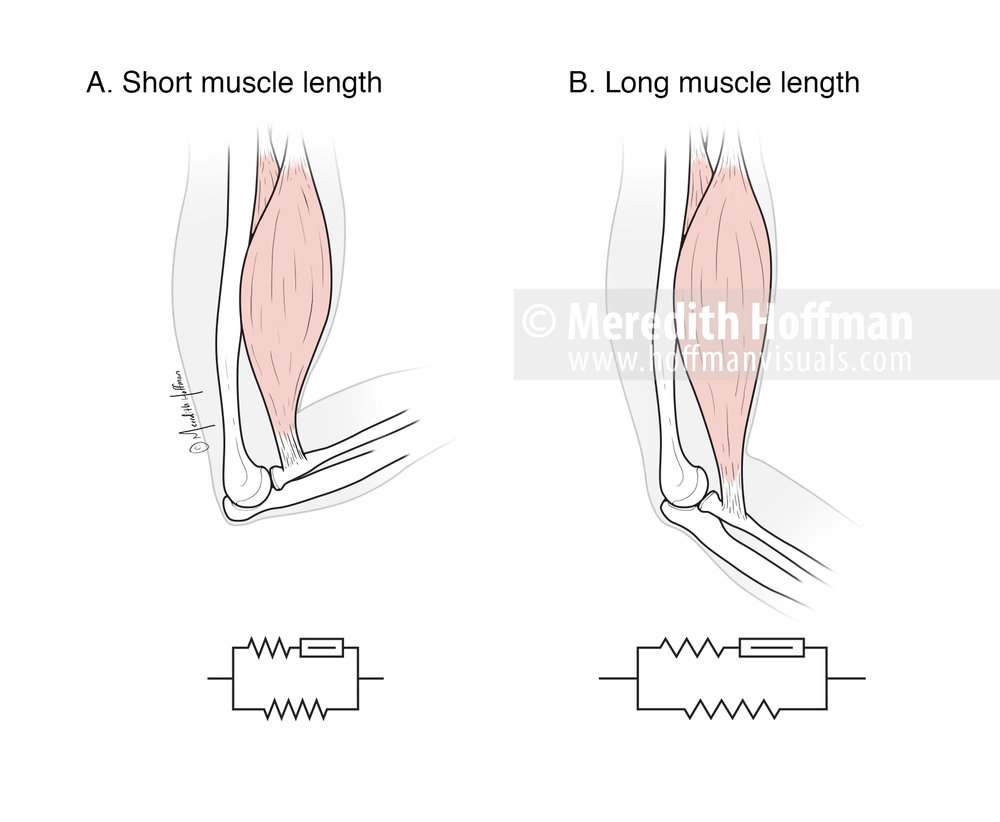 Compression in long and short muscle lengths