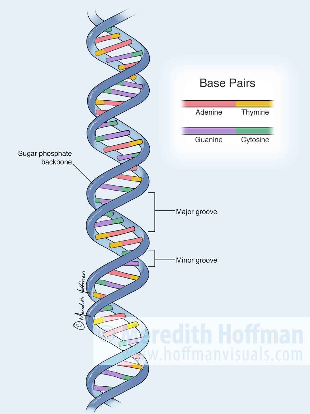 Hoffman_DNA.jpg