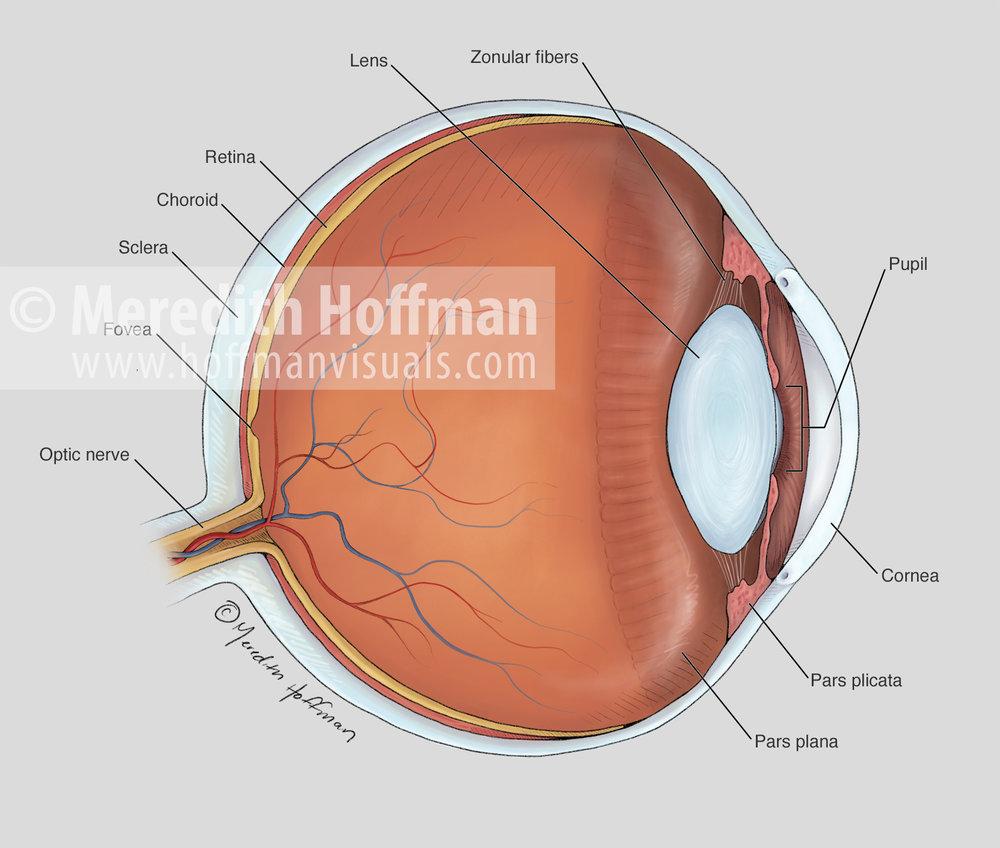Cross sectional anatomy of the eye