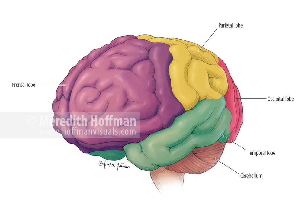 Lobes of the brain