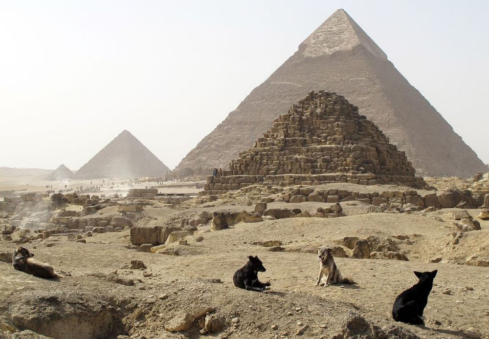 wazagh :     Stray dogs rest in front of the Pyramids of Giza on the outskirts of Cairo. February 3, 2015.    Photo: Shawn Pogatchnik