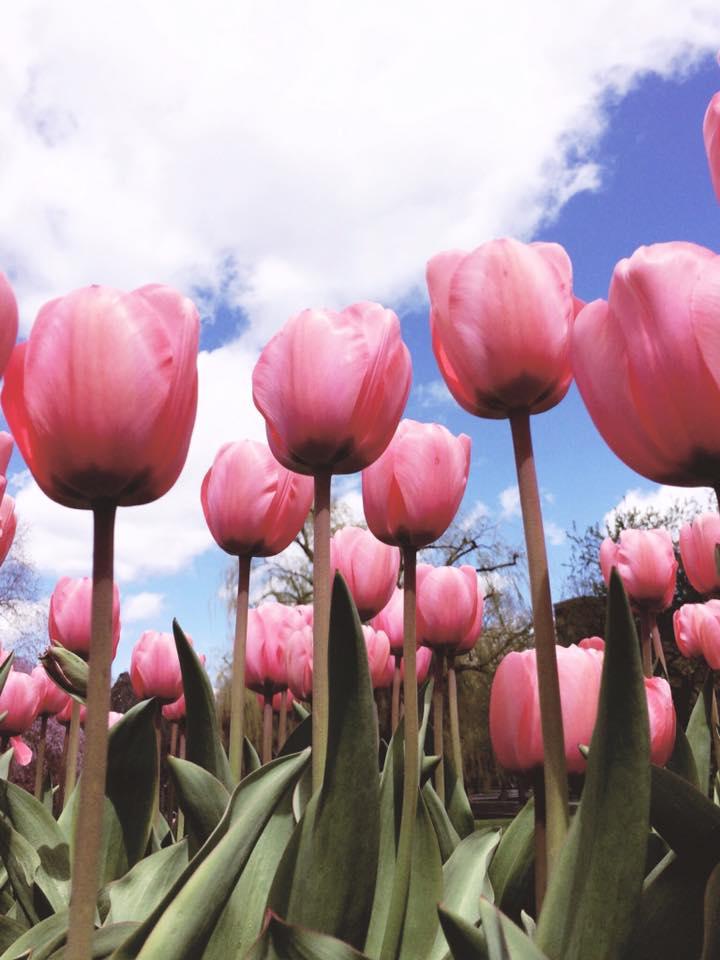 Tulips in the Boston Public Garden