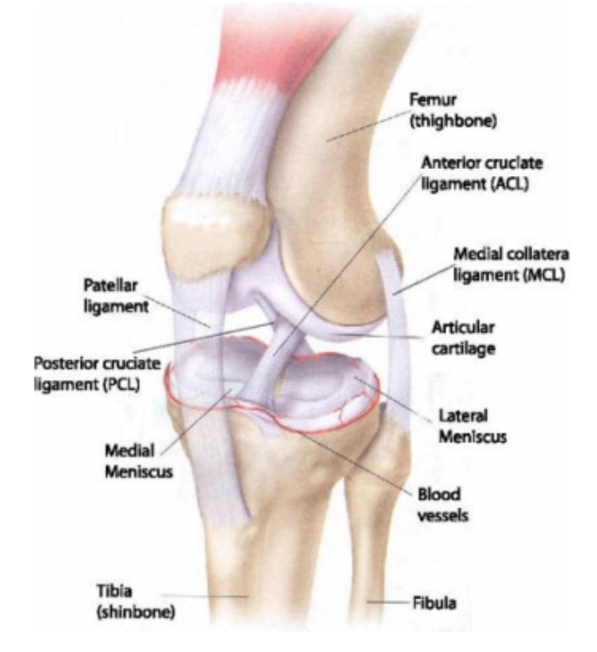 Anterior knee pain urban endurance the knee joint outside and front view ccuart Choice Image