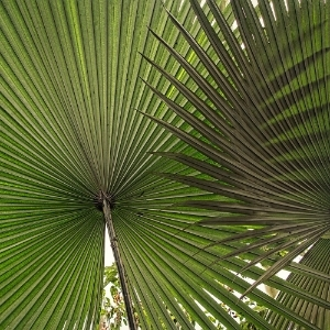 Toronto Fan Palm Plant Leaf Design by Plant Pros