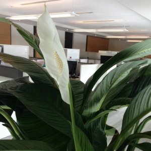 Flower in Mississaug Offices