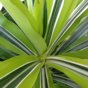 Dracaena office plant closeup in Toronto
