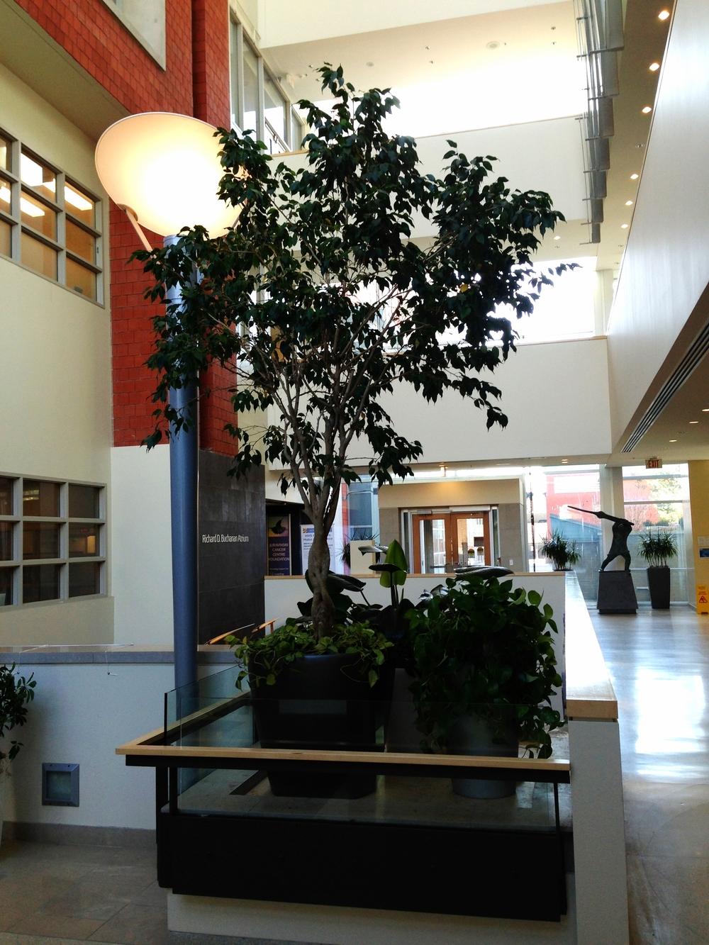 Specimen GFicus in Grouping in Atrium.jpg