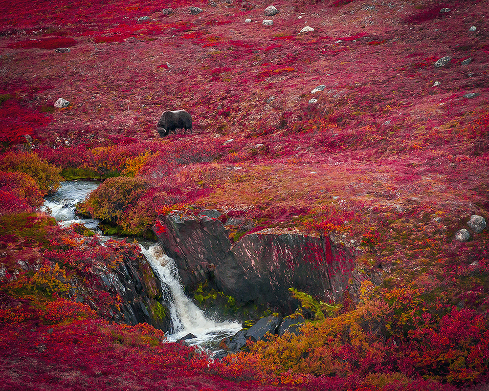 Muskox-Hope Bay-web.jpg