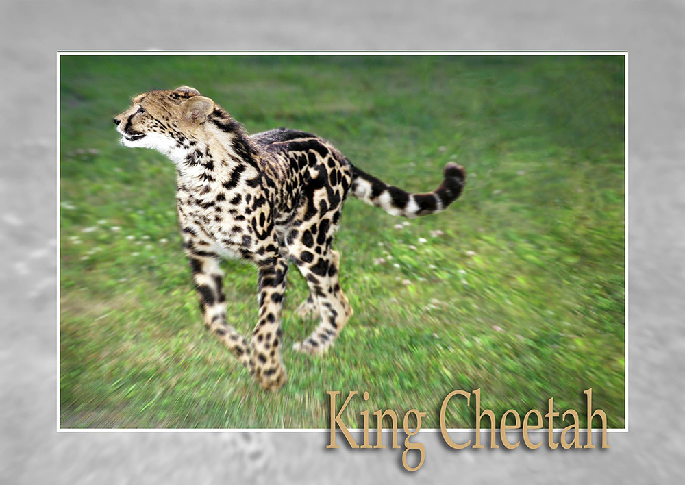 King Cheetah Tawana.jpg