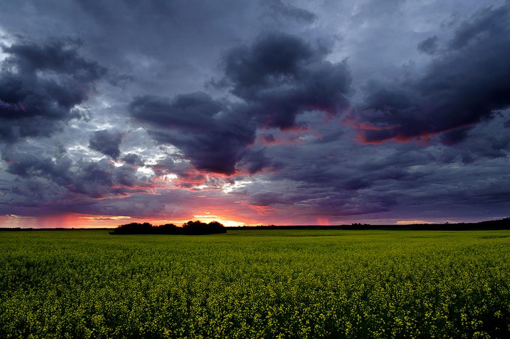 Canola field sunset Vegreville-1024.jpg