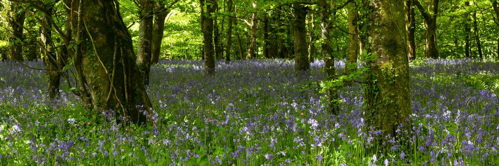 Vast bluebell areas in the Great Wood, Lanhydrock, Cornwall. Image:   Chris Denning, Verve Garden Design