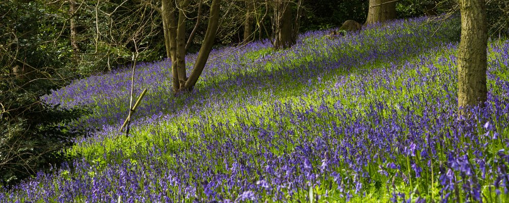 Stunning bluebell path near magical gardens of Kiftsgate Court. Image: Chris Denning, Verve Garden Design