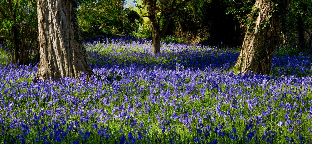 Blanket of bluebells on Brantwood hillside overlooking the Lake District. Image: Chris Denning, Verve Garden Design