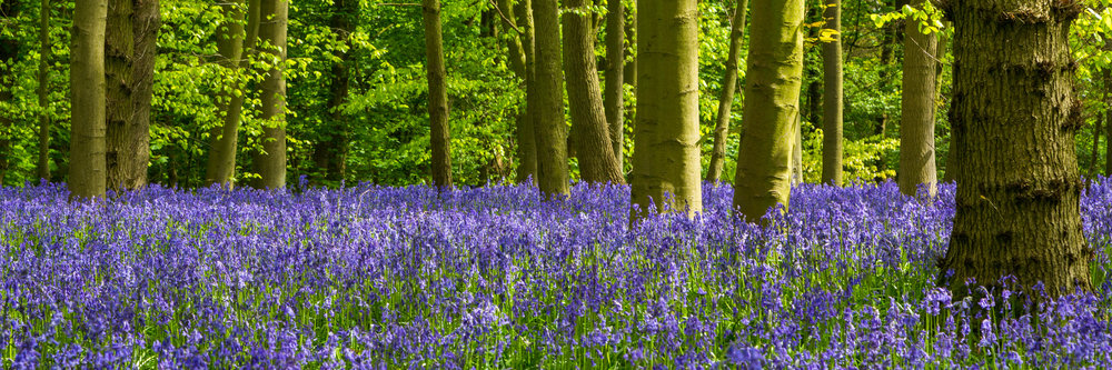 Spectacular bluebell fields in Strelley, Nottinghamshire.  Image: Chris Denning, Verve Garden Design