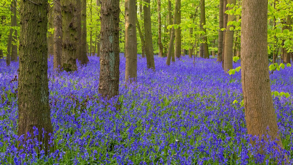 Our best place to see bluebells is Oldmoor Wood,  Nottinghamshire. Image: Chris Denning, Verve Garden Design